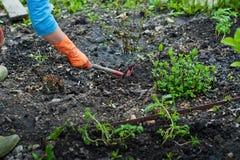 Flancowanie rozsady w otwartej ziemi w wczesnej wiośnie Kobieta rolnik trzyma sadzonkowy w jej rękach, przeszkadza ziemię Obrazy Royalty Free