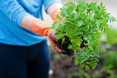 Flancowanie rozsady w otwartej ziemi w wczesnej wiośnie Kobieta rolnik trzyma sadzonkowy w jej rękach, przeszkadza ziemię Zdjęcia Stock