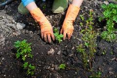 Flancowanie rozsady w otwartej ziemi w wczesnej wiośnie Kobieta rolnik trzyma sadzonkowy w jej rękach, przeszkadza ziemię Fotografia Stock