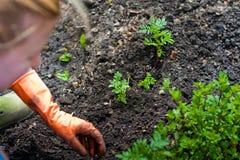 Flancowanie rozsady w otwartej ziemi w wczesnej wiośnie Kobieta rolnik trzyma sadzonkowy w jej rękach, przeszkadza ziemię Zdjęcia Royalty Free