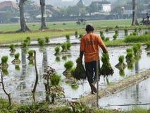 flancowanie ryż fotografia royalty free