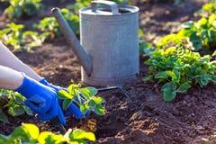 Flancowanie truskawki w ogródzie Fotografia Stock