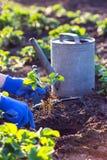 Flancowanie truskawki w ogródzie Zdjęcia Royalty Free