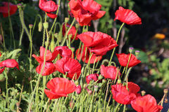 Flander's Poppies in the  Field Royalty Free Stock Images