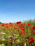 Flanders Field poppy Stock Photography