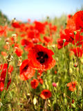 Flanders Field poppy Stock Images