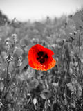 Flanders Field poppy. A field of poppies in the fields of Flanders Northern France, black and white with the red of one poppy picked out Royalty Free Stock Image