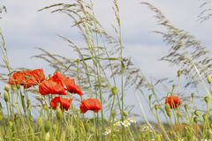 Flanders fields full of poppies Stock Photo