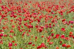 Flanders fields full of poppies Stock Photography