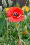 Flanders poppy flower, Papaver rhoeas. One red flower. Vertical. Stock Photo