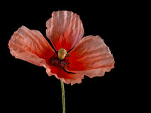 Flanders poppy, wild flower. Remembrance Day symbol over black. Stock Photos