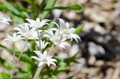 Flanel witte Bloem in een lentetijd bij een botanische tuin royalty-vrije stock afbeelding