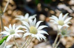 Flanell-weiße Blume in einer Frühlings-Saison an einem botanischen Garten lizenzfreie stockfotografie