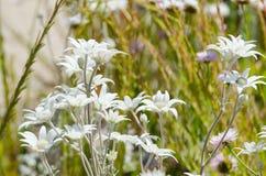 Flanell-weiße Blume in einer Frühlings-Saison an einem botanischen Garten lizenzfreies stockbild