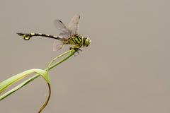 Flangetail de oro - retrato de la libélula Fotos de archivo libres de regalías