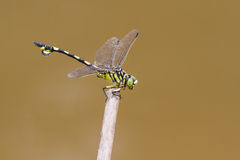 Flangetail de oro - retrato de la libélula Imagen de archivo libre de regalías