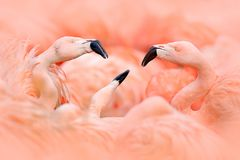 Flaningo战斗 美国火鸟, Phoenicopterus rubernice,桃红色大鸟,跳舞在水中,动物在自然栖所,古巴, 免版税图库摄影