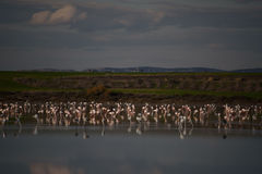 Flaningo. Flamingo on Larnaca salt lake Stock Photography