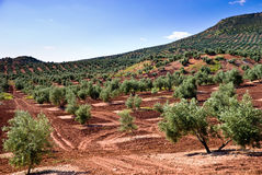 The flank of a olive tree hill Stock Images
