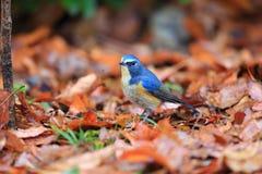 Flankujący bluetail lub Flankujący krzaka rudzik Zdjęcie Stock