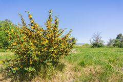 Flannel bush in bloom in Ulistac Natural Area, Santa Clara, south San Francisco bay area, California royalty free stock photos