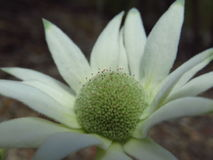 Flannel flower full face. Single open flannel flower (Actinotus helianthi) with its creamy white petals and green tips, in muted light, hint of leaf litter in Stock Photo