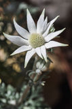 Flannel Flower 2. A native Australian flowering plant...botanical name - Actinotus helianthi Royalty Free Stock Photography