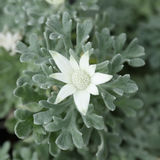 Flannel Flower. A white flower of Flannel Flower Royalty Free Stock Images