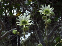 Flannel flowers face away. Two open flannel flowers (Actinotus helianthi) with their creamy white petals and green tips, seen form below, together with several Stock Photos