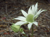 Flannel flowers. Single open flannel flower (Actinotus helianthi) with its creamy white petals and green tips, and two buds, in muted light Royalty Free Stock Images