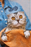 Flap-ear just washed ed cat with widely opened eyes Royalty Free Stock Photos