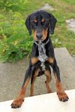 Flap-eared black and brown hound dog