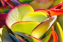 Succulent Flap Jack Stock Images