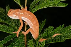 Flap-neck chameleon Stock Image