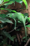 Flap-necked chameleon Royalty Free Stock Image