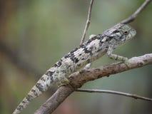 Flap-necked Chameleon. (Chamaeleo dilepis) in Zambia Stock Image