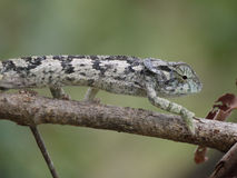 Flap-necked Chameleon. (Chamaeleo dilepis) in Zambia Stock Photos