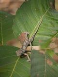 Flap-necked Chameleon. (Chamaeleo dilepis) in Zambia Royalty Free Stock Image