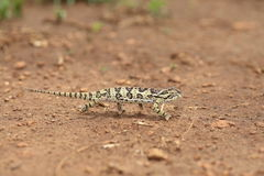 Flap-necked chameleon Royalty Free Stock Photo