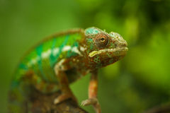 Flap-necked chameleon Royalty Free Stock Image