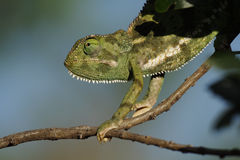 Flap-necked chameleon, Masai Mara, Kenya Royalty Free Stock Photography
