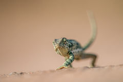Flap-necked chameleon walking in the sand. Royalty Free Stock Image