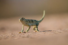 Flap-necked chameleon walking in the sand. Royalty Free Stock Photos