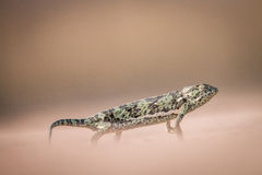 Flap-necked chameleon walking in the sand. Stock Images