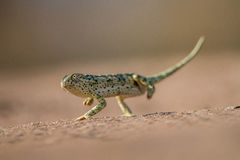 Flap-necked chameleon walking in the sand. Stock Image