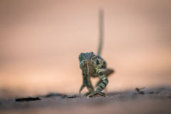 Flap-necked chameleon walking in the sand. Royalty Free Stock Photography