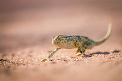 Flap-necked chameleon walking in the sand. Royalty Free Stock Images