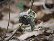 Flap-necked Chameleons. (Chamaeleo dilepis) in Zambia Stock Photo