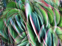 Flapjack Cactus Fantasy. A fantasy interpretation of the green edged pink flapjack cactus leaves is a different way to look at this beautiful plant Royalty Free Stock Image