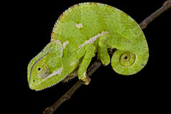 Flapnecked chamaeleon (Chamaeleo dilepis). The Flapnecked chamaeleon (Chamaeleo dilepis) is a common chameleon species found in Eastern and Central Africa. They Royalty Free Stock Image